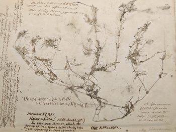 <strong>キューバでの採集</strong><br> シカゴの採集家カルキンスの勧めがきっかけで、熊楠はキューバでも採集活動を行った。主に地衣類を中心に採集を続けた。<br> キューバで採集した標本は、地衣類の権威ニランデルによって新種「ギアレクタ・クバーナ」と命名され、熊楠は生涯誇りとしていた。<br> 採集の対象は多様であり、美しい貝殻をマッチ箱に詰めたりもしている。本格的に変形菌の観察を始めたのもこの頃のようである。