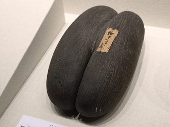 <strong>双子椰子(大実椰子)</strong><br> 熊楠の収集品の一つで、「ココ・デ・メール」という、珍しい双子の椰子の実。インド洋に浮かぶセーシェル共和国のプララン島原産で、世界遺産に登録されているヴァレ・ド・メ自然保護区にしか存在しない。現在は採取が禁止されている。