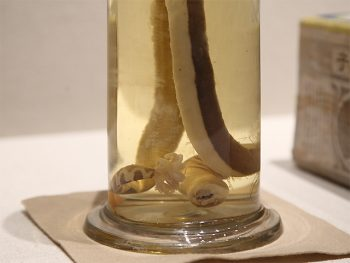 <strong>A specimen of Uga, a kind of barnacle stuck on a sea snake's tail</strong><br> This is the specimen that Kumagusu explained first when he gave a lecture to Emperor Shōwa in June 1929.