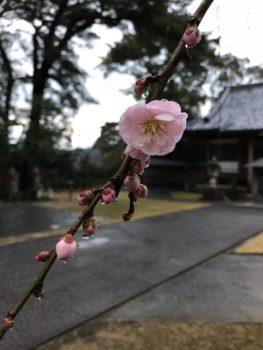 髙山寺の梅